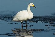 Whooper swan, Cygnus cygnus, adult standing in icy water, Odaito, Hokkaido Island, Japan, japanese, Asian, wilderness, wild, untamed, ornithology, snow, graceful, majestic, aquatic