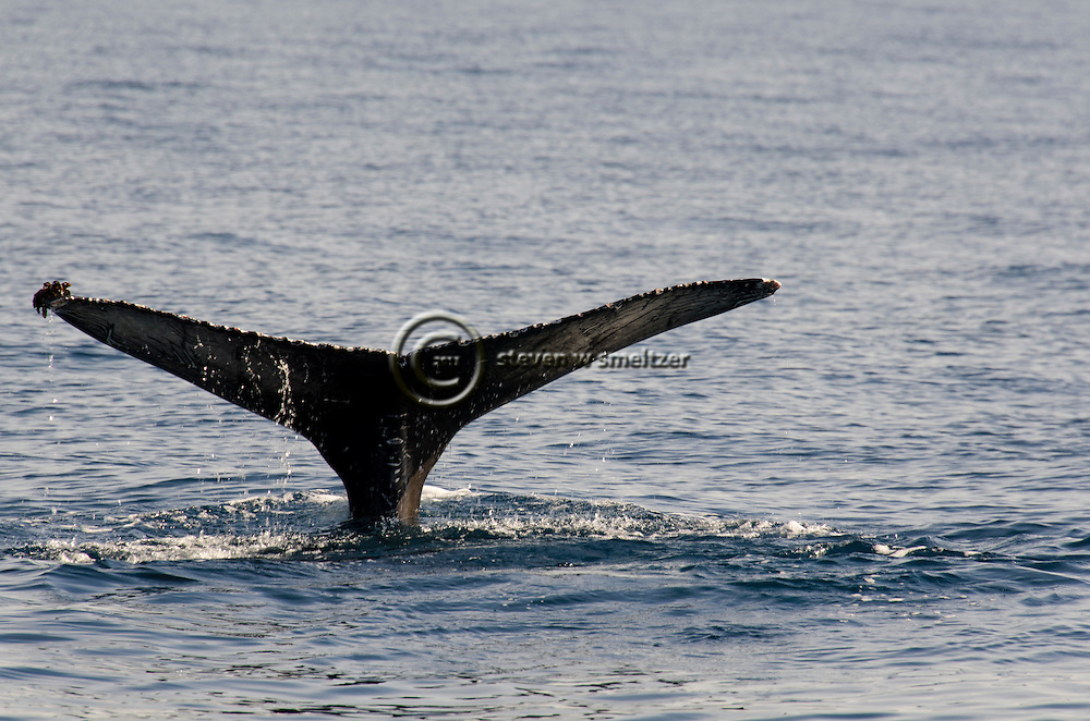Humpback whale, Megaptera novaeangliae, Dana Point California