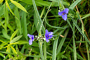 Spiderwort (Tradescantia ohiensis) in bloom, Fitchburg, Wisconsin, USA.