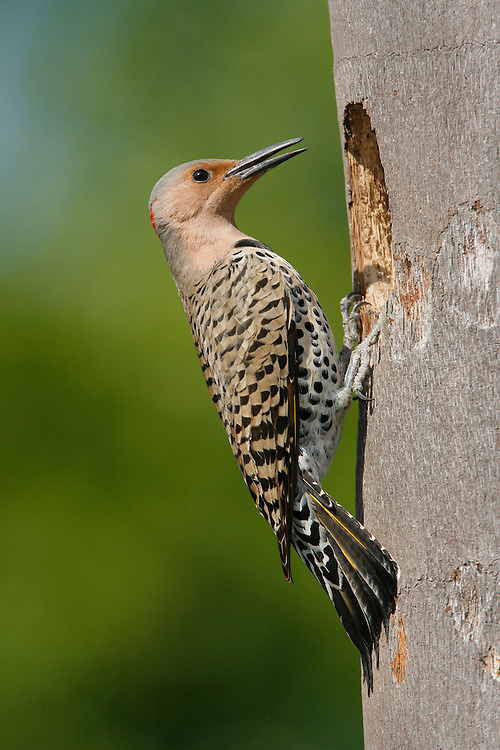 Northern Flicker (Yellow-shafted race) - Colaptes auratus - female