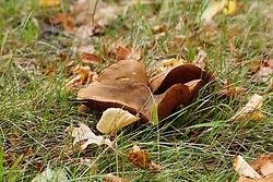 roodsteelfluweelboleet, Xerocomus chrysenteron