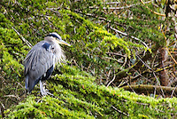 Great Blue Heron, Beacon Hill Park, Victoria, British Columbia, Canada