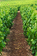 A neighbour's vineyard that is treated with bark chips (mulch) in order to prevent the grass and weed from growing and to reduce erosion, Champagne Larmandier-Bernier, Vertus, Cote des Blancs, Champagne, Marne, Ardennes, France