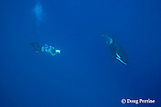 underwater videographer films orca, or killer whale, Orcinus orca, underwater, King Bank, New Zealand ( South Pacific Ocean ) MR 364