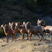 A small herd of bighorn sheep in the badlands of Theodore Roosevelt National Park, North Dakota.