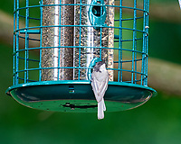 Black-capped Chickadee. Image taken with a Nikon D810a camera and 600 mm f/4 VR lens.