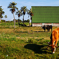 Central America, Cuba, Pinar del Rio. Cow and Oxen on Cuban farm in Pinar del Rio province.