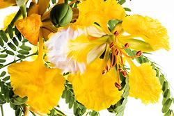 Royal Poinciana -yellow#27