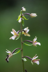 Marsh Helleborine (Epipactis palustris) was first described from Belgium by Crantz in 1753 and its name refers to its usual choice of a wet, marshy habitat. This orchid has a huge distribution across temperate Europe and Asia from Britain and Scandinavia in the west to Siberia in the east. It can grow in dense colonies, particularly in the damp,  alkaline  conditions it prefers such as dune slacks and base rich fens. This plant was photographed in Hole, Norway