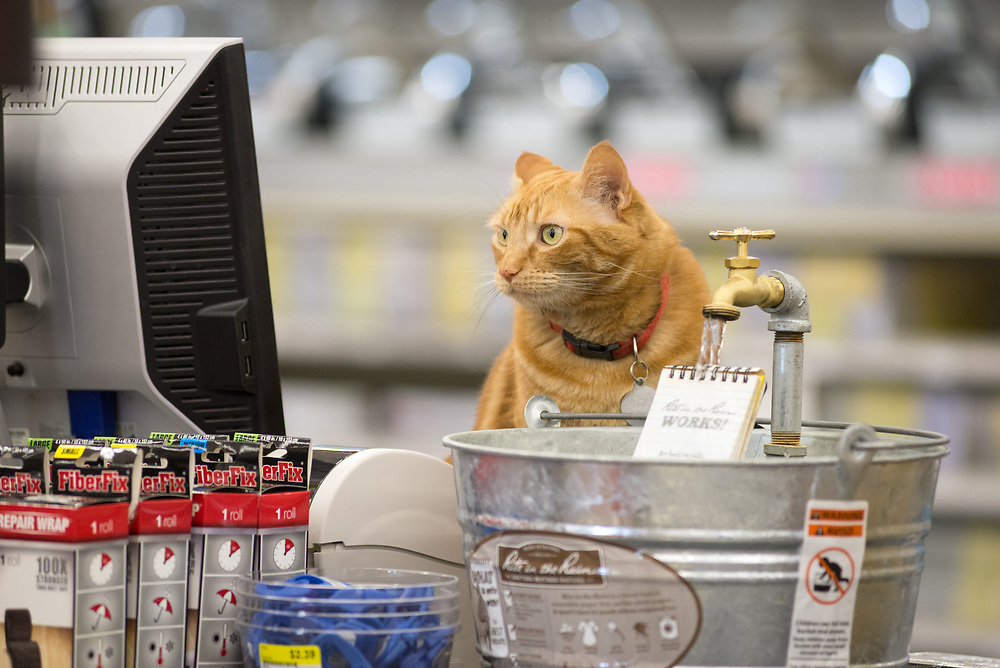 Cat drinking out of Rite in the Rain display in a hardware store in Baker City, Oregon.