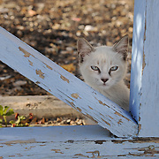 Kitten in Santorini behind the wooden fence