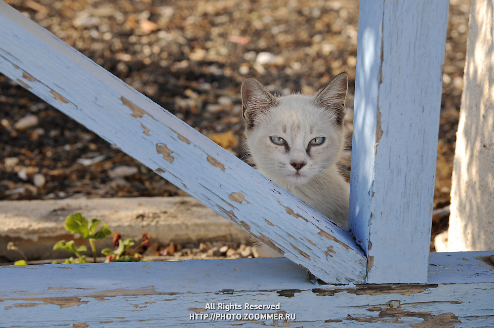 Kitten in Santorini behind the wooden fence