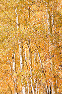 Yellow autumn aspen leaves (Populus tremuloides) catch sunlight and the breeze at the Conboy Lake National Wildlife Refuge in Klickitat County, WA, USA.