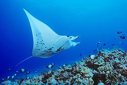 reef manta ray or coastal manta at cleaning station, Manta alfredi, Kona Coast, Big Island, Hawaii, USA, Pacific Ocean