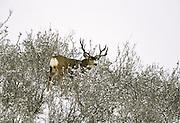 Mule deer in Colorado