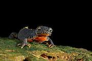 Alpine Newt (Triturus alpestris) male, Kiel, Germany | Diese Bergmolch-Männchen  (Triturus alpestris) hat im Frühsommer sein Laichgewässer verlassen. An Land sind diese Tiere nachtaktiv und gehen im Schutz der Dunkelheit auf Beutefang. Trotz des nun zurückgebildeten Hautsaumes sind die Bergmolche auch in ihrer Landtracht die farbenprächtigsten einheimischen Molche.