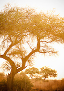 An acacia tree in Waza National Park, in the north of Cameroon