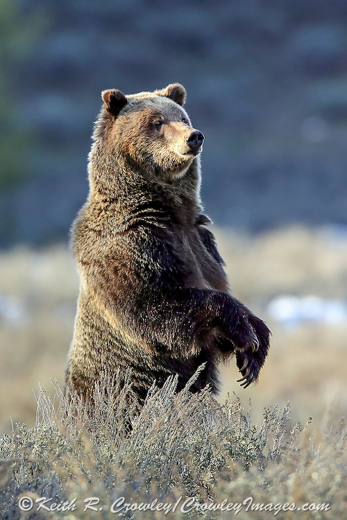 Standing Grizzly Bear in Habitat