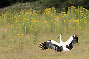 White stork (Ciconia ciconia) landing on the ground. Sussex, UK.