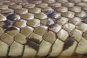 Grass snake (Natrix natrix) detail (deceased). Dorset, UK.