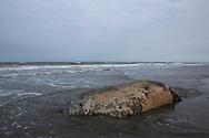 En död valross på stranden i Shishmaref, Berings hav.  Alaska, USA<br /> <br /> Fotograf: Christina Sjögren<br /> <br /> Photographer: Christina Sjogren<br /> Copyright 2018, All Rights Reserved