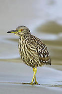 Black-crowned Night Heron-Juvenile - Nycticorax nycticorax