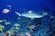 blacktip reef shark or blackfin reef shark, Carcharhinus melanopterus, and reef fish, Moorea, French Polynesia ( South Pacific Ocean )