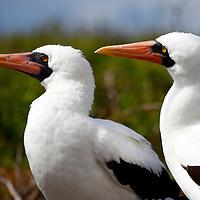 South America, Ecuador, Galapagos Islands. Nazca Booby pair.