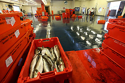 A general view of fish at the Plymouth Fisheries.