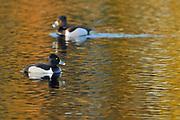 Lesser Scaup (Aythya affinis) - diving duck<br />Pakwash Provincial Park<br />Ontario<br />Canada
