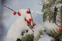 snow covered holly berries for christmas holiday season