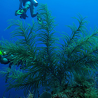 Slimy Sea Plume, Pseudopterogorgia americana, Grand Cayman