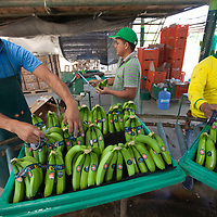 Workers place stickers on organic Fairtrade bananas in one of several processing plants at Fairtrade-certified banana producers APPBOSA in Samán, Marcavelica, Piura, Peru.