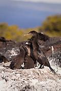 Flightless cormorant (Phalacrocorax harrisi) nesting on Isabela Island, Galapagos Archipelago - Ecuador.