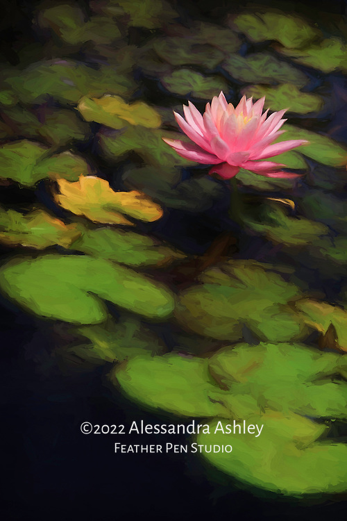 Single pink water lily blooming in garden pond with petals open to sun's rays.