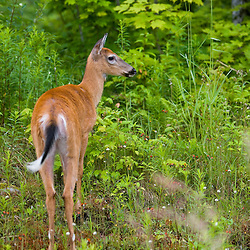 Whitetail deer (doe), Odocoileus virginianus, in Pittsburg, New Hampshire.  Connecticut River Headwaters region.
