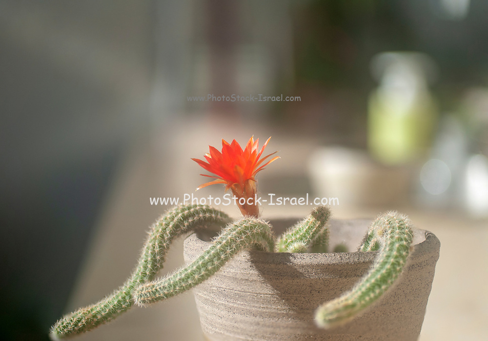 Blooming Peanut Cactus (Echinopsis chamaecereus) with red and orange flower