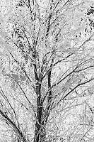 A black and white version of a tree frosted over by the early morning frigid Winter air in the Heber Valley of Utah.
