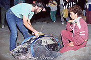 Dr. Scott Eckert (left) and Mexican biologist Laura Sarti (right) attach a satellite transmitter to a nesting leatherback sea turtle, Dermochelys coriacea, Mexiquillo Beach, Mexico ( Eastern Pacific )