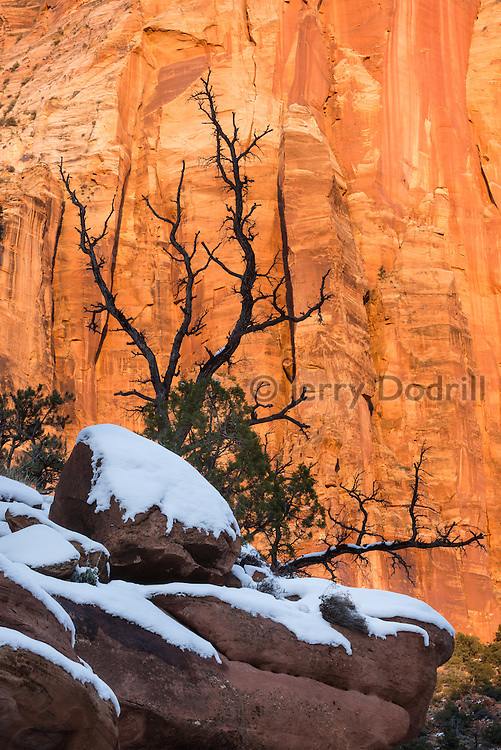 A juniper tree sits on a snowy ledge in Zion National Park's Pine Creek Canyon near Springdale, Utah.