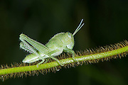 Short-horned grasshopper nymph<br /> Odzala - Kokoua National Park<br /> Republic of Congo (Congo - Brazzaville)<br /> AFRICA