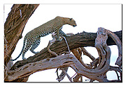 Leopard in Samburu National Reserve, Kenya.  Nikon D4, 200-400mm @ 210mm, f4, EV+1.67, 1/200sec, ISO3200, Aperture priority