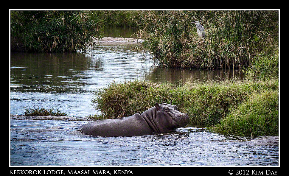 Hippo In The Water.Keekorok Lodge, Maasai Mara, Kenya.September 2012