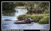 Hippo In The Water.Keekorok Lodge, Maasai Mara, Kenya.September 2012