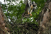 Harpy Eagle  (Harpia harpyja) <br /> Savannah<br /> Rupununi<br /> GUYANA. South America<br /> RANGE: Central & South America