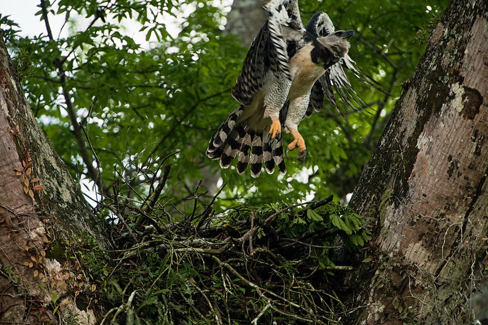 Harpy Eagle  (Harpia harpyja) <br /> Savannah<br /> Rupununi<br /> GUYANA. South America<br /> RANGE: Central & South America