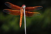 USA, Oregon, Keizer, male Flame Skimmer (Libellula saturata) hunting from car antenna.