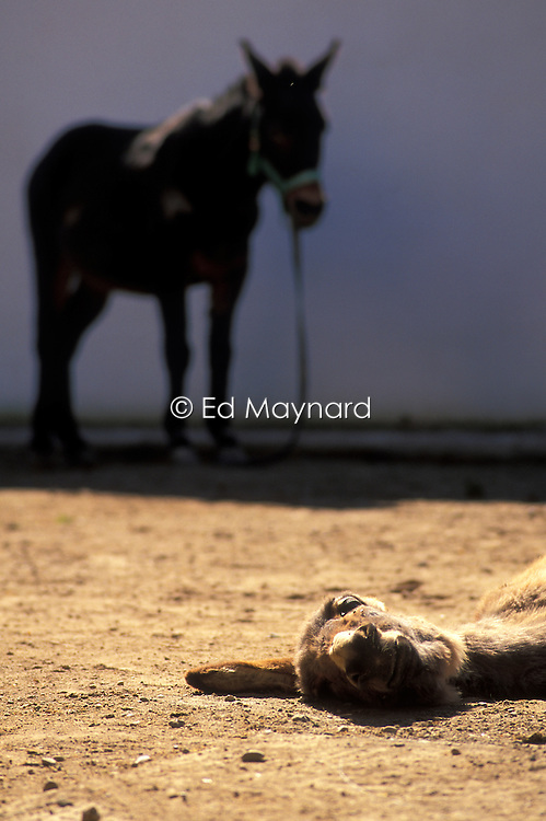 Working mules get to rest and recover at the SPANA refuge, Marrakech, Morocco.