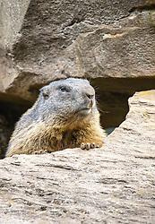 THEMENBILD - ein Murmeltier (Marmota) im Wildpark Ferleiten, aufgenommen am 29. April 2018 in Taxenbacher-Fusch, Österreich // a marmot at the Wildlife Park, Taxenbacher-Fusch, Austria on 2018/04/29. EXPA Pictures © 2018, PhotoCredit: EXPA/ Stefanie Oberhauser