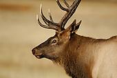 Elk Hunting Stock Photos
